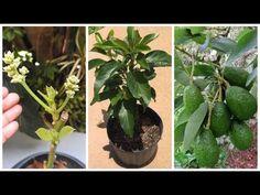 👉 ABACATE NO VASO PRODUZINDO EM 30 DIAS😱🥑🥑 EU CONSEGUI😍 APRENDA AQUI! 🥑🥑 - YouTube Make It Yourself, Youtube, Android, Videos, Plants, Agriculture, Growing Up, Nice, Green