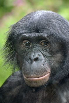 Bonobo (Pan paniscus) Kölner Zoo, Cologne, Germany Conservation status: Endangered