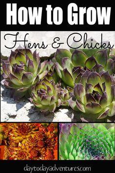 Growing Hens and Chicks - DaytoDayAdventure...