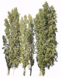 Populus nigra group