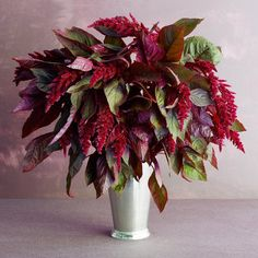 'Hopi Red Dye' amaranth  A. hybrid  Amaranth's long, dangling seed heads add drama to both your garden and as spillers in a fall vase.
