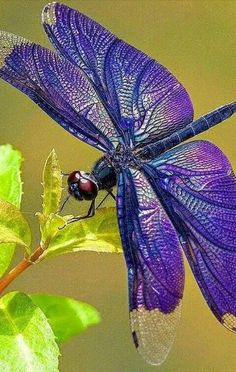 Libellule - This is so pretty ~ which makes me wonder if it isn't fake? Dragonfly Images, Dragonfly Insect, Dragonfly Tattoo, Blue Dragonfly, Dragonfly Symbolism, Beautiful Bugs, Beautiful Butterflies, Beautiful Creatures, Animals Beautiful