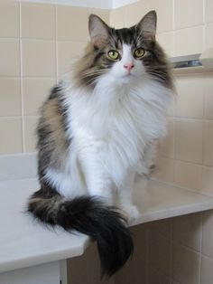 Pictures of Norwegian Forest Cat Cat Breed