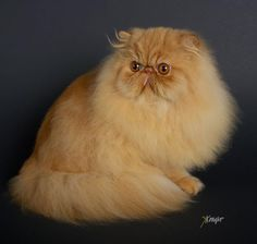Red persian cattery tinsehills