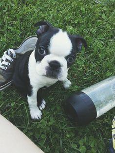 Little Baby named Riepu! https://www.facebook.com/bterrierdogs