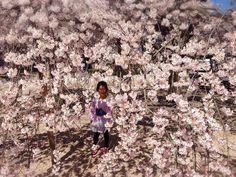 in 大三島 しだれ桜と ささらはど~こだww