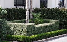 Instant hedges of Corokia 'Frosted Chocolate' with Buxus 'Green Gem'