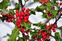 Growing holly bushes in your yard can add year-round interest. Because they are such popular plants, many people have questions about the care of holly bushes. Read this article to learn more about growing holly. Winter Plants, Winter Garden, Holly Berries, Red Berries, Winter Berries, Poisonous Plants, Holly Shrub, Holly Plant, Rouge