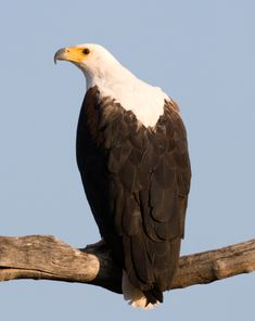 Sounds of the Wild: Most Popular Safari Sounds. NB: African Fish Eagle sound included.