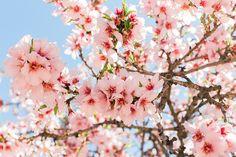 Flores de almendro | Sakura tree | Almond flowers. Marzo 2015