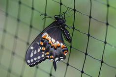 Eastern black swallowtail butterfly