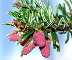 Abies nordmanniana Caucasian Fir, Christmas Tree Fir, Nordmann