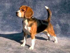 Beagle fajta nagy felülvizsgálata (+ kép és videó)