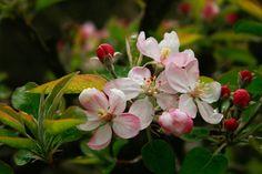 Kép forrása: http://carlatrefethensaunders.files.wordpress.com/2012/01/apple-blossoms2.jpg.