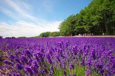 ラベンダー / Lavender by Seiichi Yamasaki