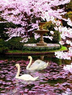 Graceful Swans Swimming In Flower Studded Waters