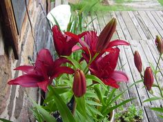 these are called Cherry Cola lilies,, have not been able to find any more,,