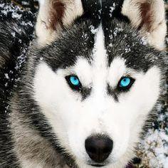 Husky siberiano...muito lindo