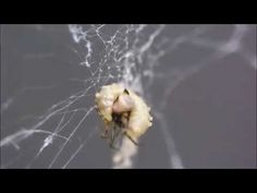 Zombie spider builds a stronger web for the parasitic wasp that's sucking its blood | The Verge