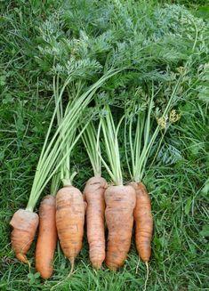 Récolte de carottes - nantaises améliorées