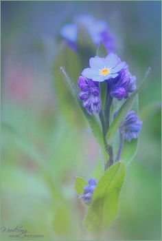 Forget-me-nots © C.Mead
