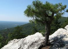 Tree grows out of the rock , Hanging Rock State Park