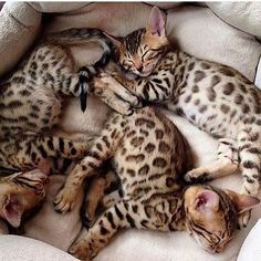 Beautiful kittens. Look at those patterns!