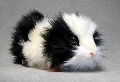 Image detail for -Black+guinea+pigs+pictures