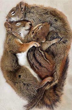 Red Squirrel, Eastern Chipmunck, Starr Ockenga, Photographer, 2004