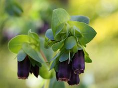 There is a fun little plant with leaves that change color and vibrant bluish purple flowers. Cerinthe is the grownup name, but it is also called the blue shrimp plant. What is Cerinthe? Read here to learn more.