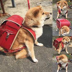 一年生になったら〜一年生になったら〜 入学式のシーズンですね入学された皆さん、おめでとうございます✨ * お姉ちゃんのランドセル引っ張りだしてきて、ミケしゃんもランドセル背負ってみたよ〜似合ってるかな❓ #たま家族 #柴犬ミケ #ミケしゃんの靴下 #入学式 #ランドセル #ミケコレ #ふわもこ #柴犬 #shiba #shibainu #shibastagram #犬 #dog #柴犬子犬 #子犬 #shibapuppy #shibainupuppy #puppy