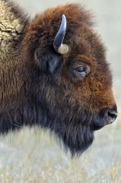 Bison on the Plains - stock photo