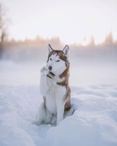Wonderful All About The Siberian Husky Ideas. Prodigious All About The Siberian Husky Ideas. Cute Puppies, Cute Dogs, Dogs And Puppies, Doggies, Huskies Puppies, Baby Huskies, Corgi Puppies, Cute Husky, Husky Puppy