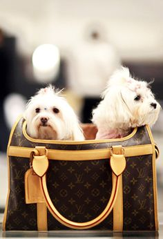 *Hey, where are we? I thought we were going to a fashion show for dogs. I heard Ralph Lauren mentioned and a walk and........Louis Vuitton.