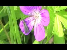 Красивый цветок, видео футаж. Beautiful flower, video footage.