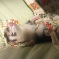 'just a comfy li'l ferret' Ferrets Care, Baby Ferrets, Funny Ferrets, Pet Ferret, Cute Funny Animals, Cute Baby Animals, Animals And Pets, Ferret Clothes, Baby Animals