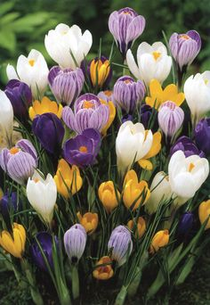 Giacinta's father brought crocuses (chroci in Italian) back from Constantinople.