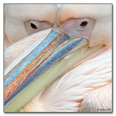 Pelicans, who knew they could be so beautiful? God I love my major I can't wait to study animals like a boss