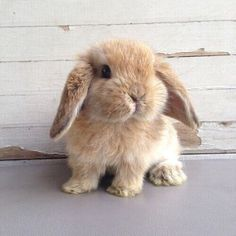 Image de cute, animal, and bunny Mini Lop Bunnies, Cute Baby Bunnies, Holland Lop Bunnies, Animals And Pets, Funny Animals, Animal Pictures, Cute Pictures, Fluffy Bunny, Cute Little Animals