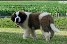 Meet Keri a cute Saint Bernard - St. Bernard puppy for sale for $695. Simply Stunning Saints of MistyRun