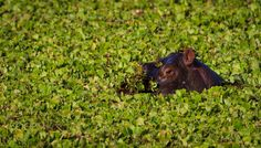 "Hippo in disguise - FoLLoW me on <a href=""https://www.instagram.com/chasethepics/"">InstaGram</a>  Hippos are everywhere in the Maasai Mara, the mara river is teeming with them along with waterholes such as this. They are graceful, funny and make the most intersting sounds, but are the biggest animal killer of humans in Africa."