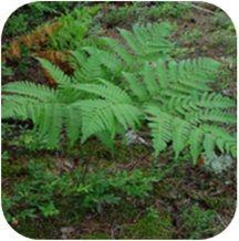 As samambaias pertencem à classe das filícíneas. Incluem as rendas portuguesas, as avencas, os xaxins, as samambaias de metro etc. Na maioria delas, o caule subterrâneo, chamado rizoma, forma folhas aéreas. No xaxim o caule é aéreo e estéreo e pode atingir cerca de 2 a 3 m. As folhas são muitas vezes longas, apresentam divisões (folíolos) e crescem em comprimento pelas pontas, que são enroladas, lembrando a posição do feto no interior do útero.