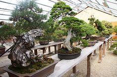 Shinji Suzuki's Bonsai garden in Obuse town