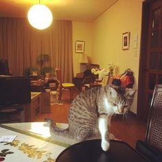 table momo #cat #cats #catstagram #catoftheday #catsofinstagram #cute #cool #picoftheday #photooftheday #instacat #instagood #instagram #instamood #like4like #life #follow4follow #neko#kitten #koneko #instagramhub #キジトラ#仔猫 #猫 by bombardorami