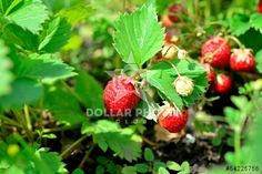 http://www.dollarphotoclub.com/stock-photo/strawberries on a bed/54225756 Dollar Photo Club millions of stock images for $1 each