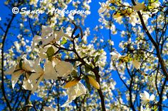 Blossoming tree Fine Art Photography  Digital by BlossomingDream, $5.00