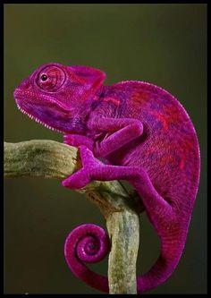 Fuchsia chameleon .