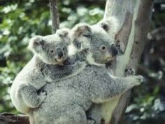 Baby koala hanging on to mother's back while they climb a tree