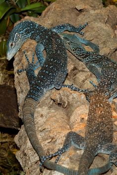 Blue Tree Monitor Lizard, a new species found in New Guinea