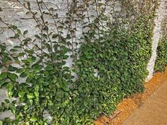 Plants for Dallas - Your Source for the Best Landscape Plant Information for the Dallas-Ft. Worth MetroplexBest Vines for Dallas, Texas — Vertical Vegetable Gardens, Indoor Vegetable Gardening, Container Gardening, Wall Climbing Plants, Climbing Vines, Lady Banks Rose, Vine Fence, Fast Growing Vines, Ficus Pumila